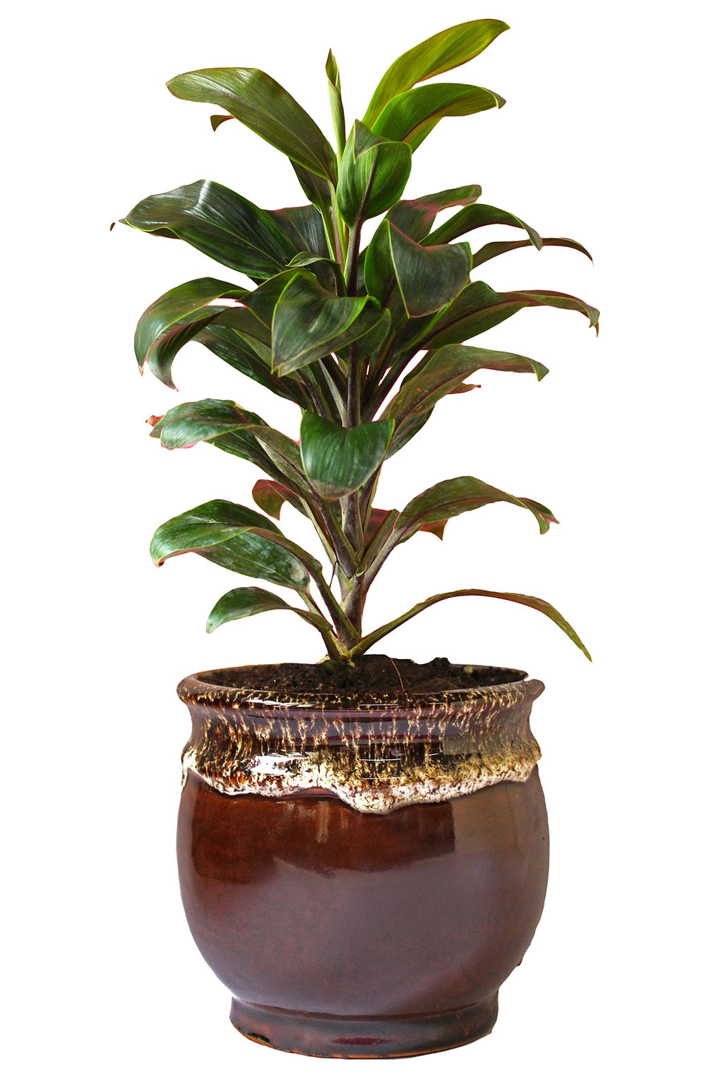 Rolling Nature Air Purifying Dracena Compacta Plant in Brown Drip Glazed Pitcher Ceramic Pot