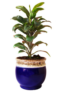 Rolling Nature Air Purifying Dracena Compacta Plant in White Drip Glazed Pitcher Ceramic Pot