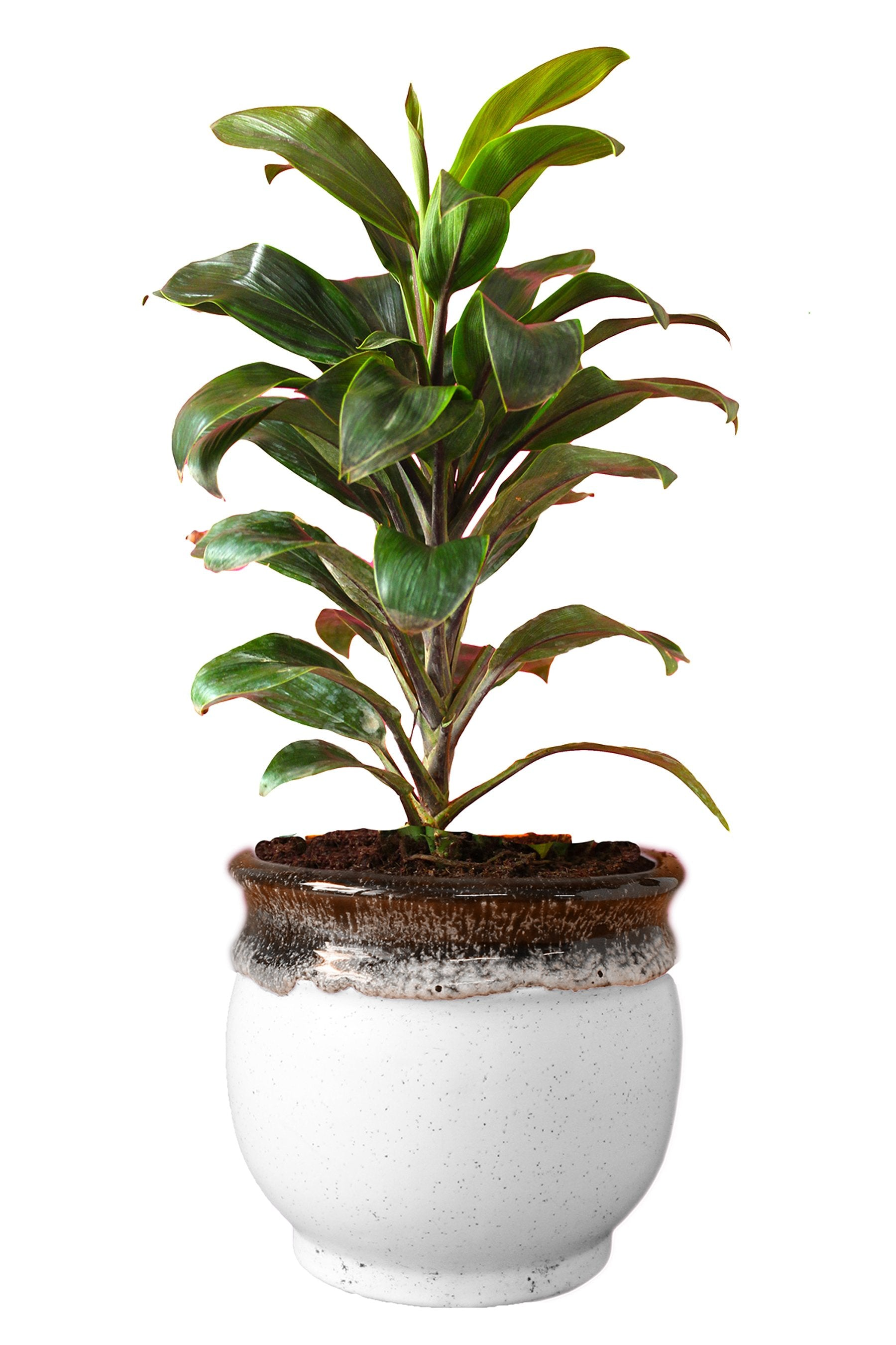 Rolling Nature Air Purifying Dracena Compacta Plant in Blue Drip Glazed Pitcher Ceramic Pot