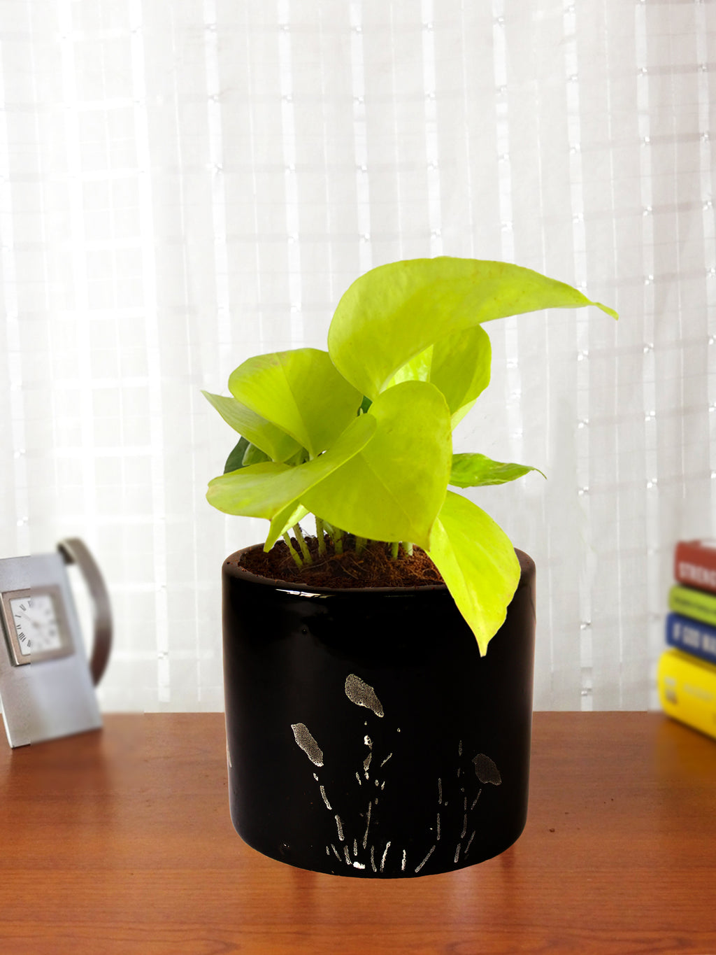 Good Luck Golden Money Plant in Black Barrel Aroez Ceramic Planter