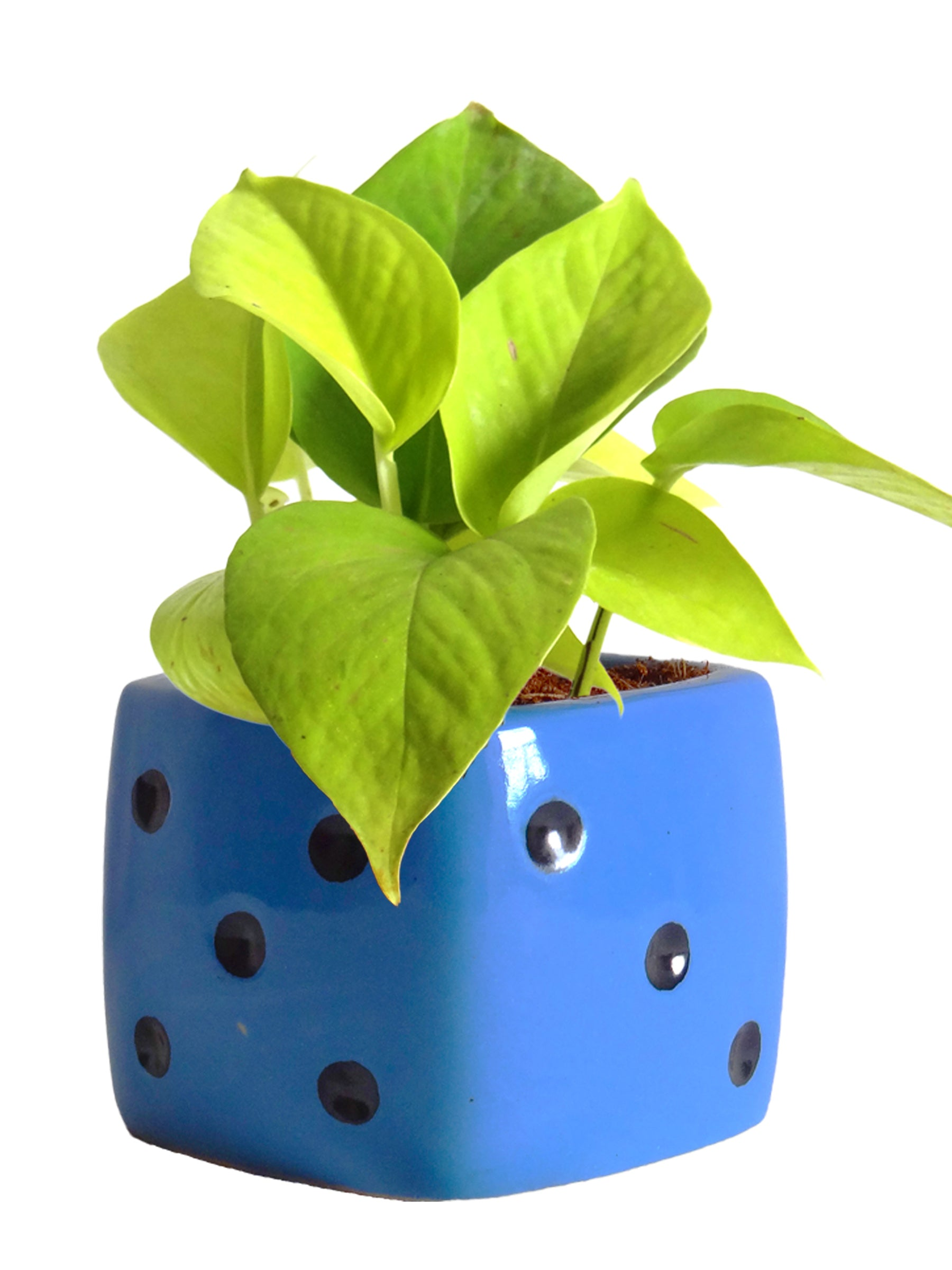 Good Luck Air Purifying Golden Money Plant in Blue Dice Ceramic Pot