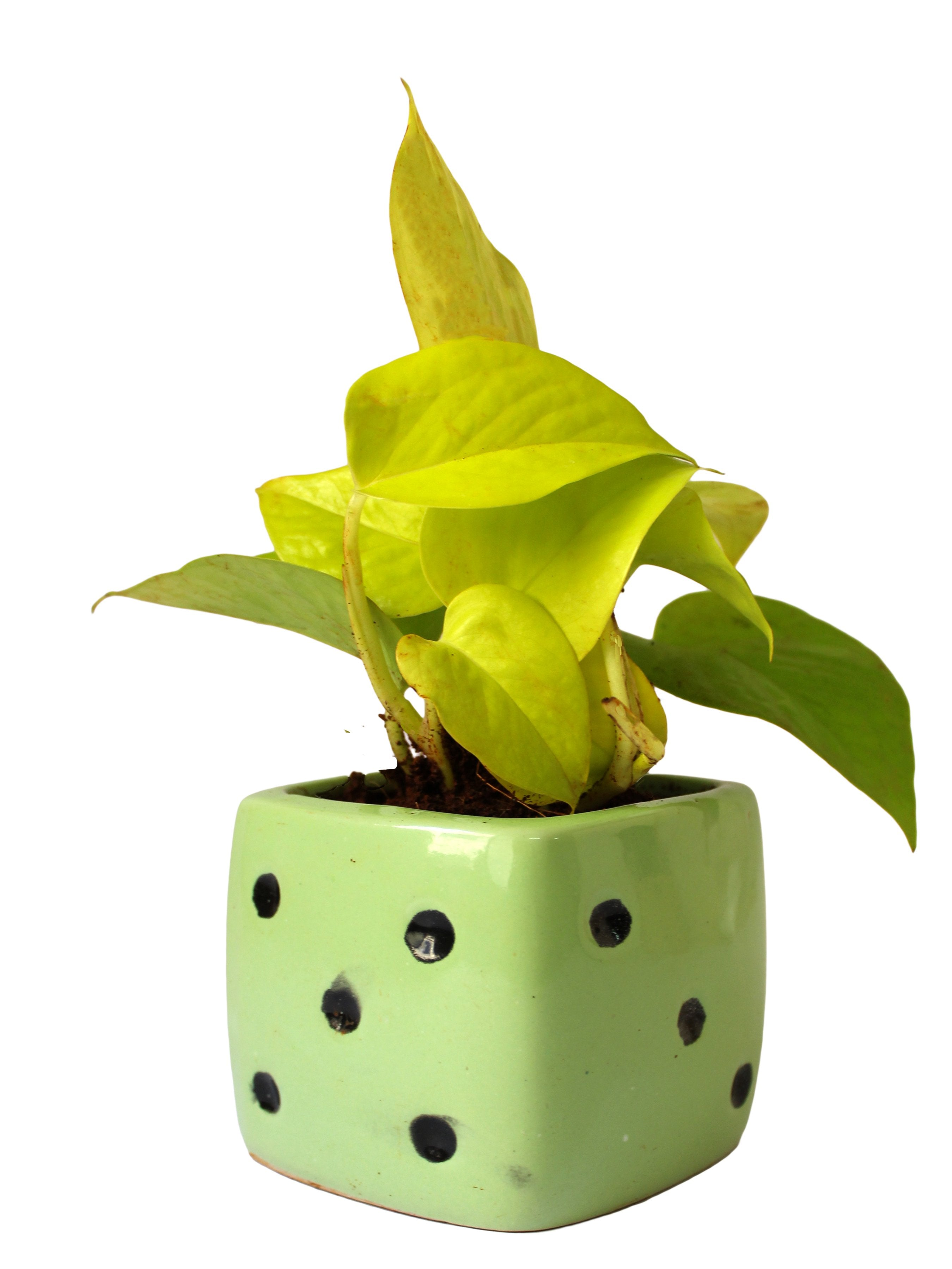 Rolling Nature Good Luck Air Purifying Golden Money Plant In Green Dice Ceramic Pot Plants Online India Rollingnature