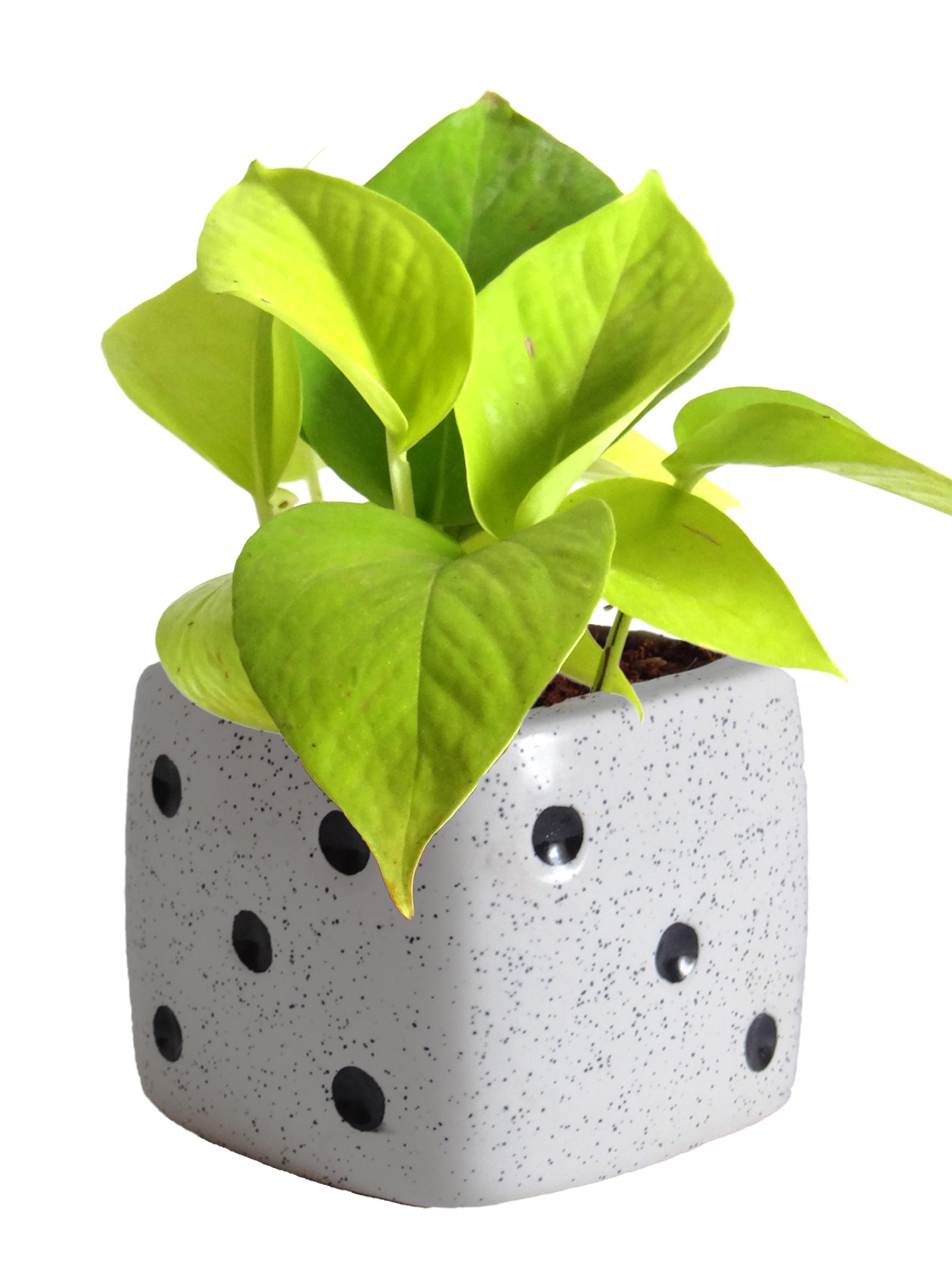Good Luck Air Purifying Golden Money Plant in White Dice Ceramic Pot
