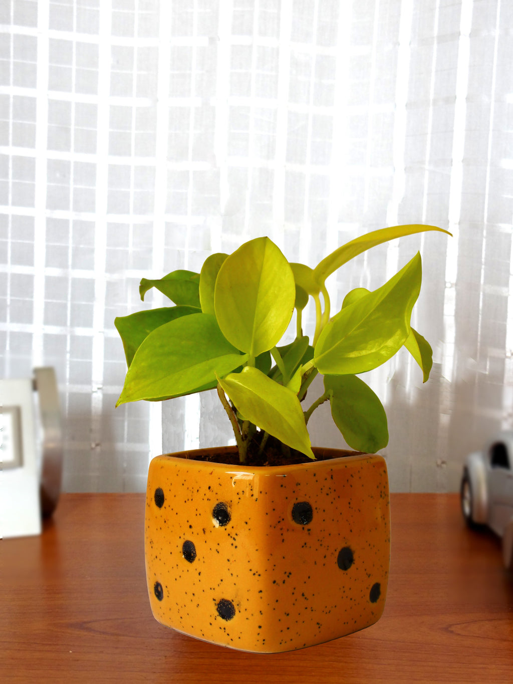 Good Luck Air Purifying Golden Money Plant in Yellow Dice Ceramic Pot
