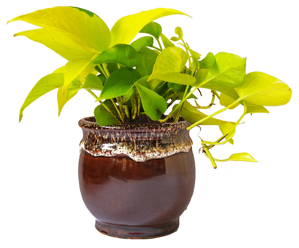 Rolling Nature   Good Luck and Air Purifying Golden Money Plant in Brown Drip Glazed Pitcher Ceramic Pot