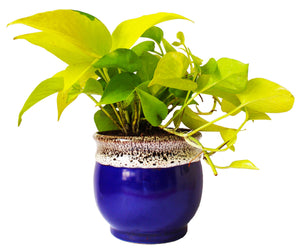 Rolling Nature   Good Luck and Air Purifying Golden Money Plant in Blue Drip Glazed Pitcher Ceramic Pot