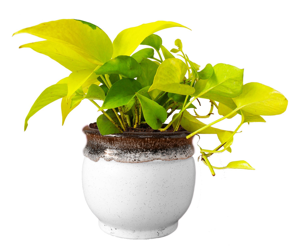 Rolling Nature   Good Luck and Air Purifying Golden Money Plant in White Drip Glazed Pitcher Ceramic Pot