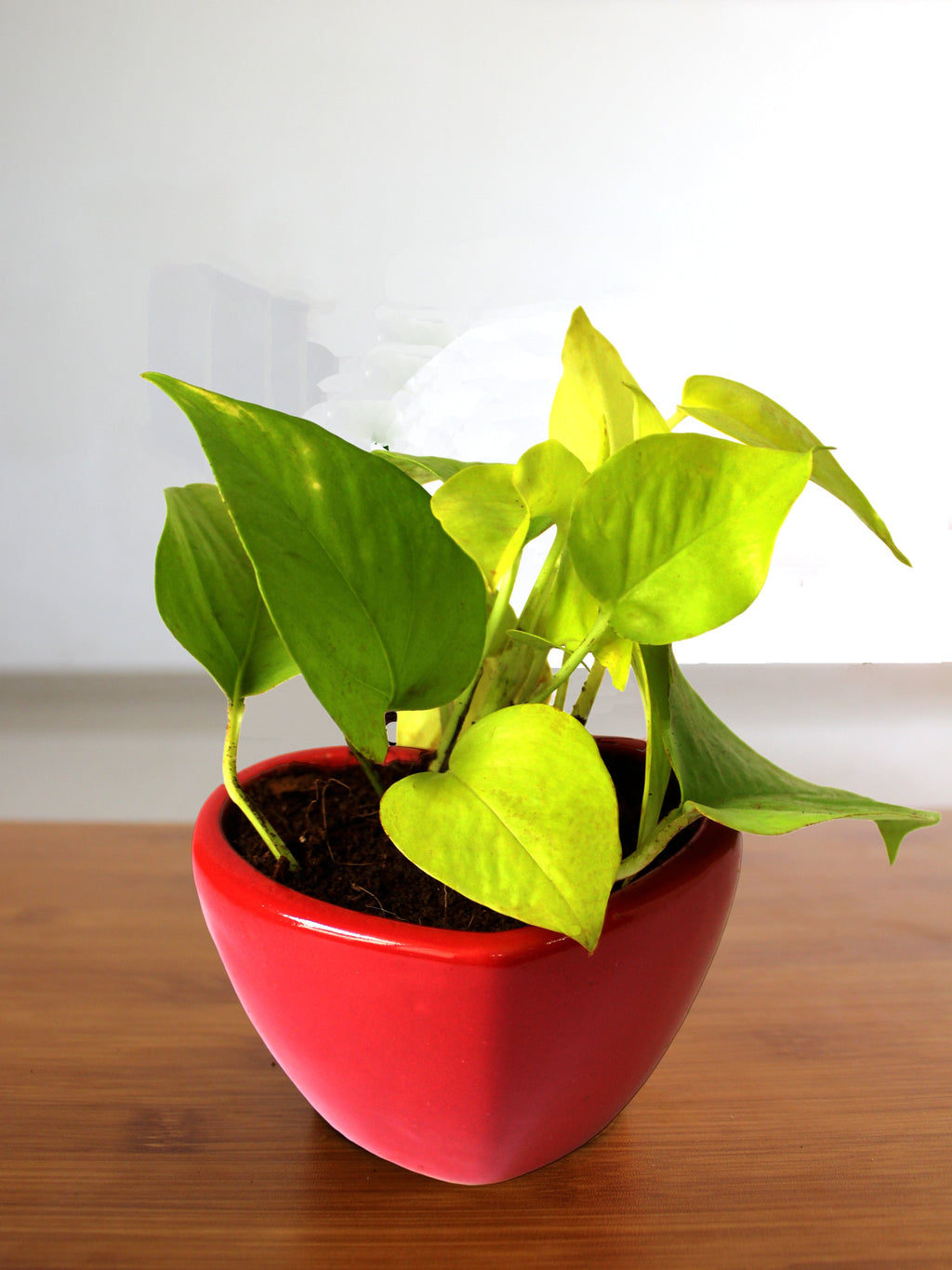 Good Luck Air Purifying Golden Money Plant in Red Heart Ceramic Pot