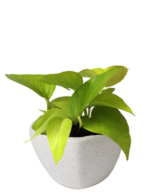 Good Luck Air Purifying Golden Money Plant in White Heart Ceramic Pot