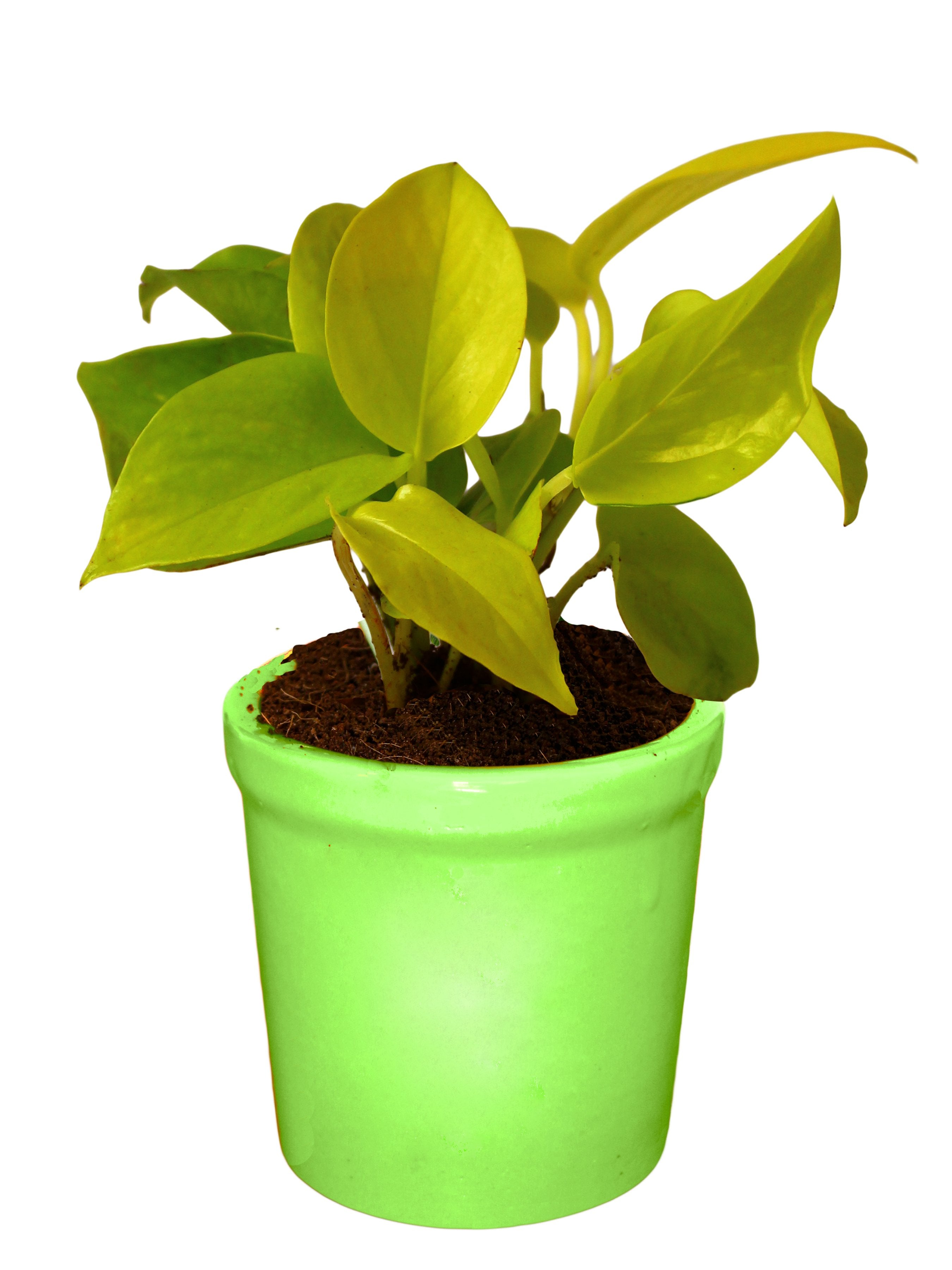 Rolling Nature Good Luck Air Purifying Live Golden Money Plant in Green Jar Ceramic Pot
