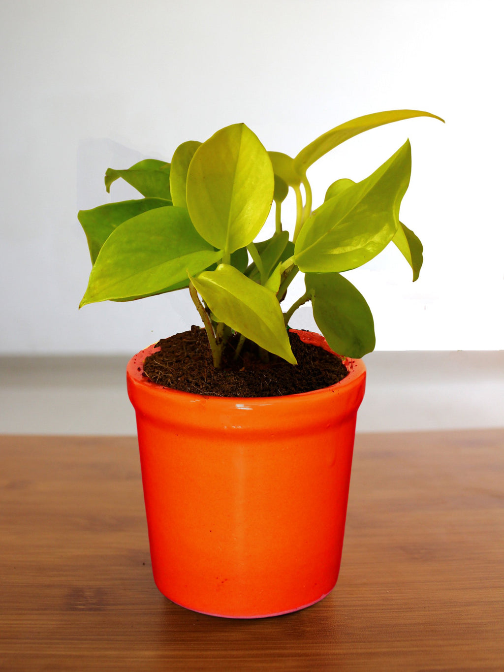 Good Luck Air Purifying Golden Money Plant in Orange Jar Ceramic Pot