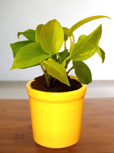Good Luck Air Purifying Golden Money Plant in Yellow Jar Ceramic Pot