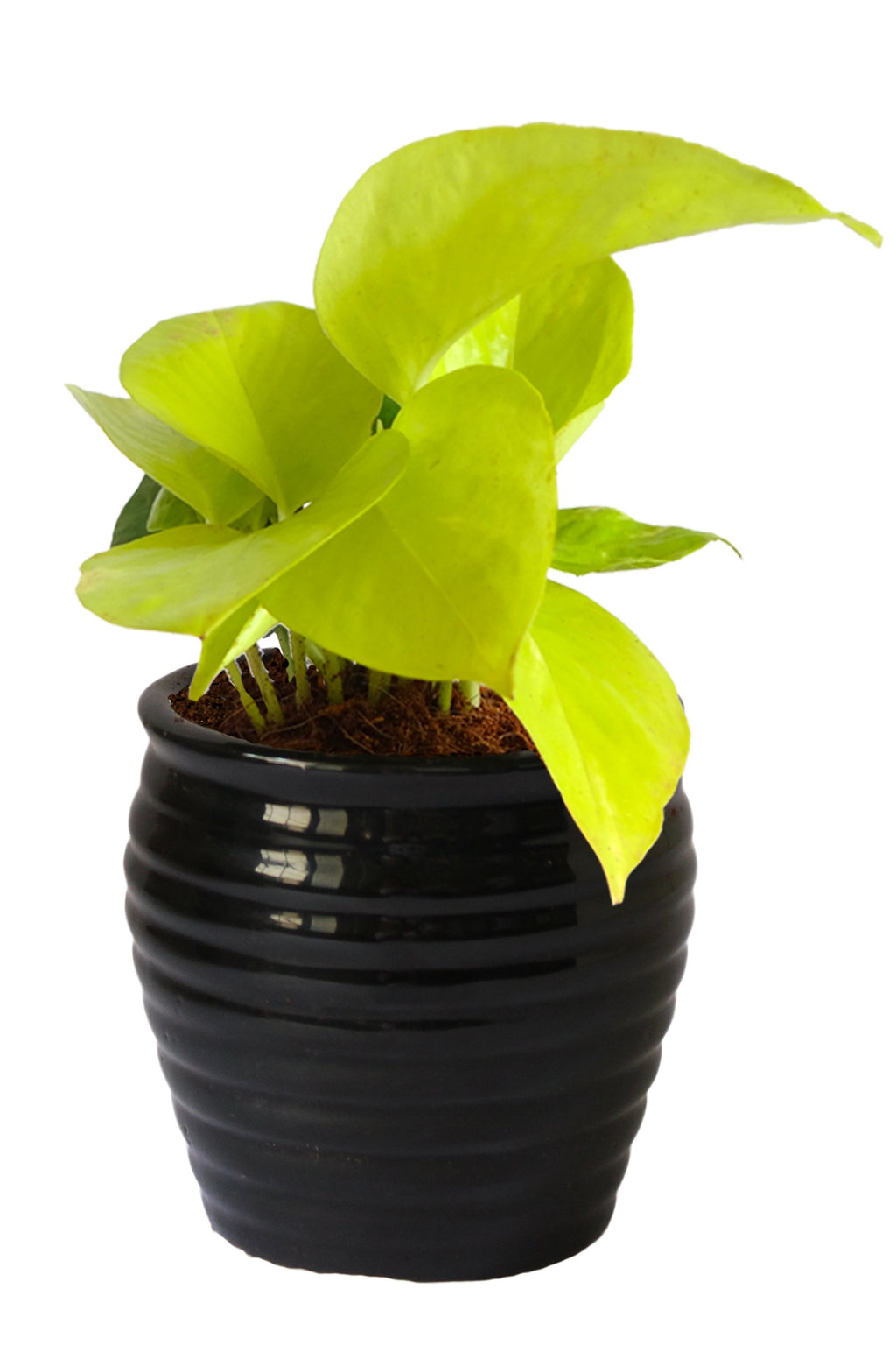 Rolling Nature Good Luck Air Purifying Golden Money Plant in Black Ceramic Pot