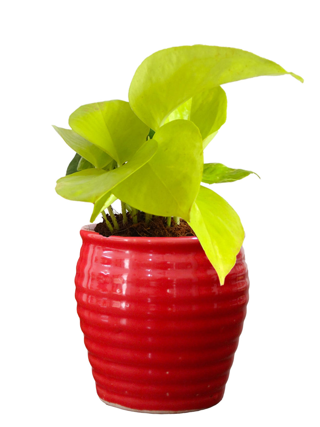 Rolling Nature Good Luck Air Purifying Live Golden Money Plant in Red Ceramic Pot