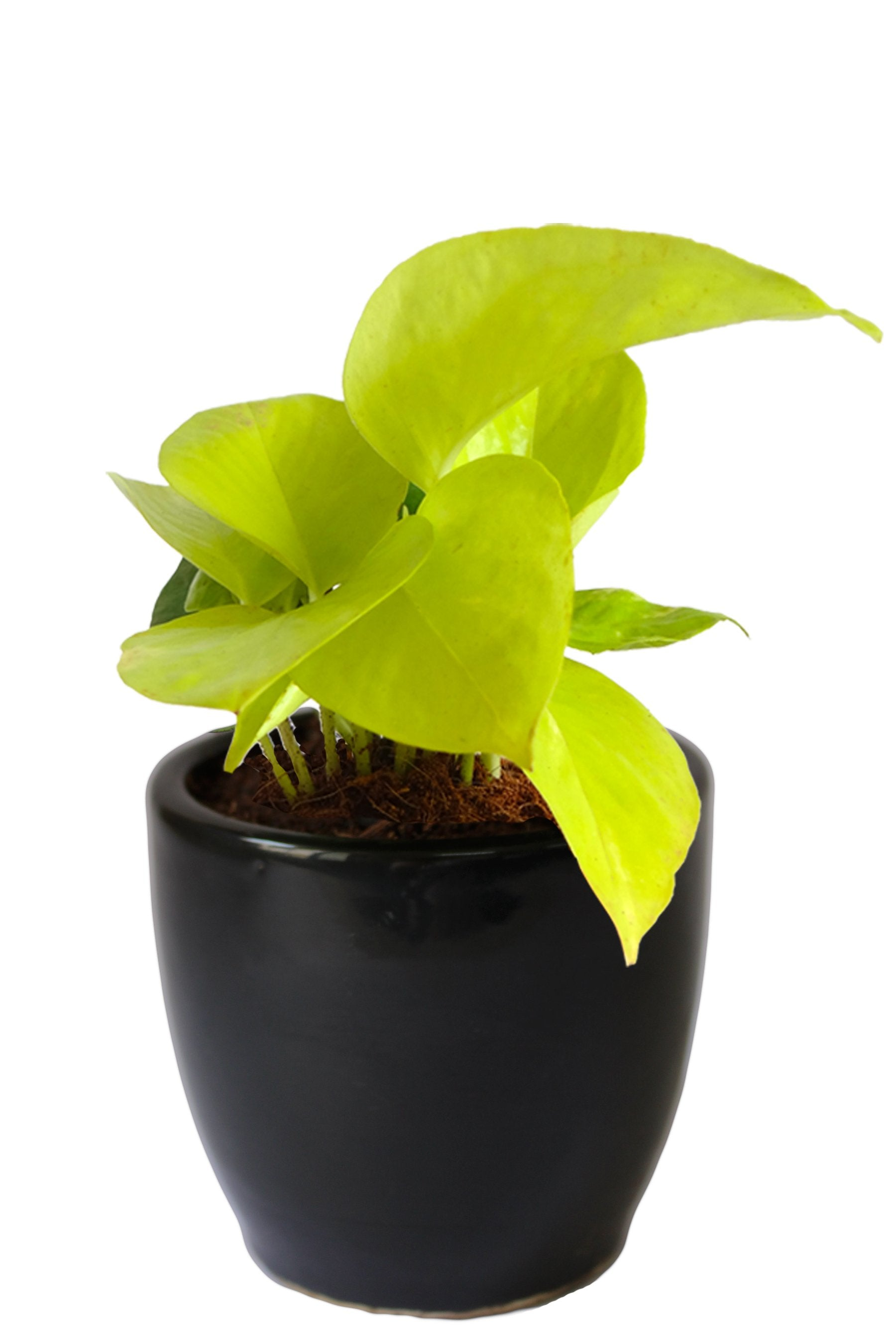Rolling Nature Good Luck Air Purifying Golden Money Plant in Black Pear Ceramic Pot
