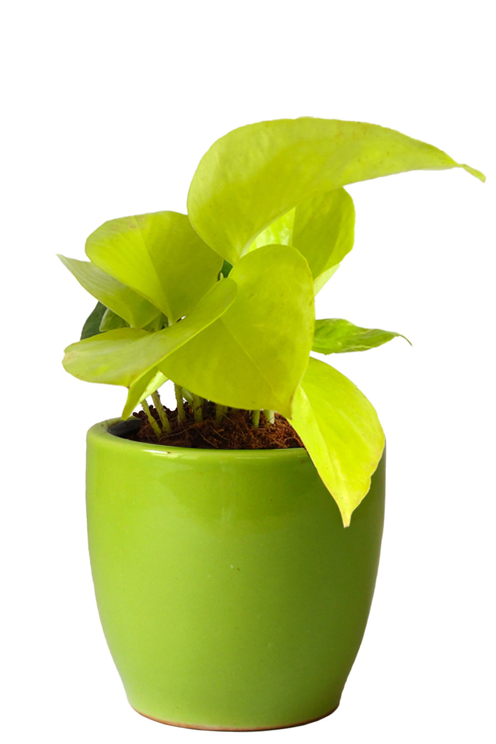 Rolling Nature Good Luck Air Purifying Golden Money Plant in Green Pear Ceramic Pot