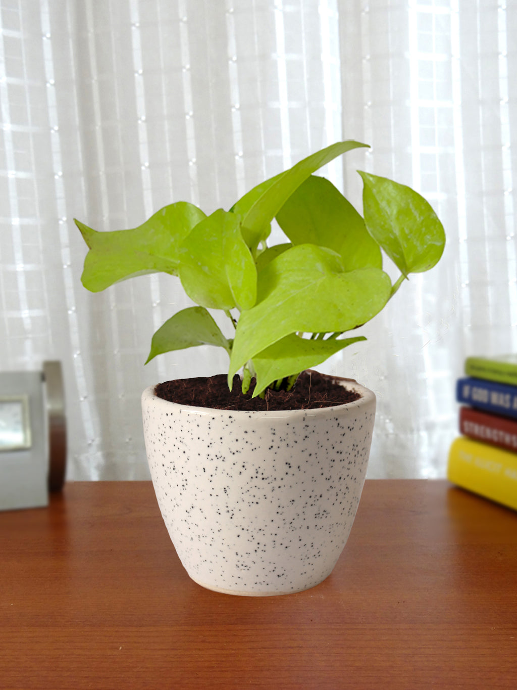 Good Luck Air Purifying Live Golden Money Plant in White Round Dew Ceramic Pot