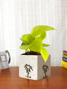 Good Luck Air Purifying Live Golden Money Plant in White Square Aroez Ceramic Pot
