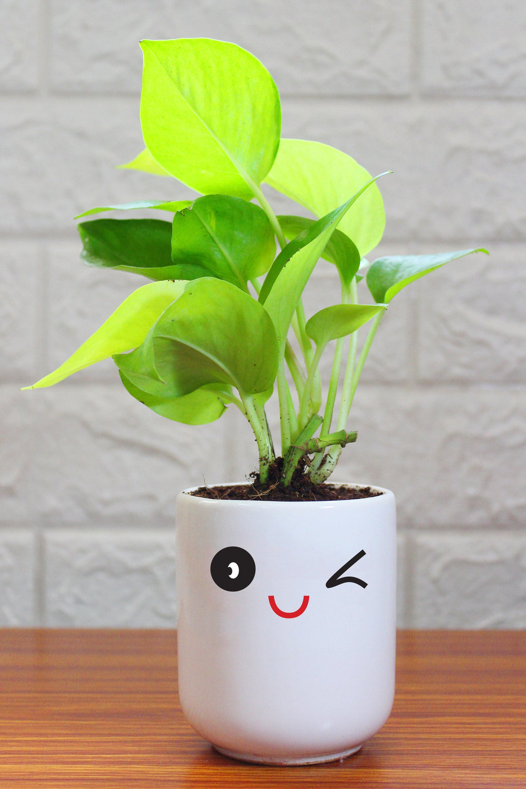 Money Plants in ceramic pots