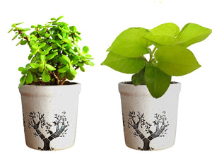 Combo Of Good Luck Live Golden Money Plant and Jade Plant in White Jar Aroez Ceramic Pot