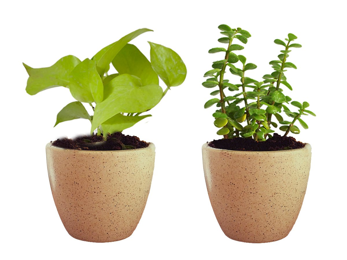 Combo Of Good Luck Live Golden Money Plant and Jade Plant  in Brown Round Dew Ceramic Pot