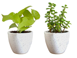 Combo Of Good Luck Live Golden Money Plant and Jade Plant  in White Round Dew Ceramic Pot