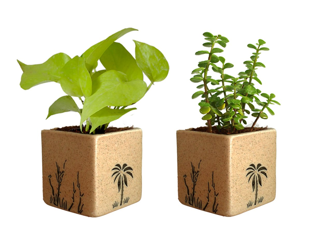 Combo Of Good Luck Live Golden Money Plant and Jade Plant in Brown Square Aroez Ceramic Pot