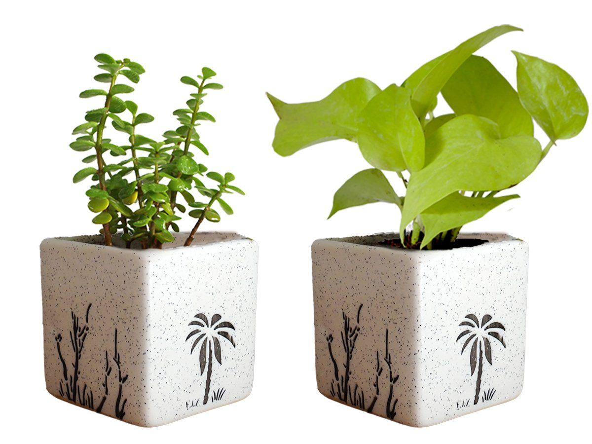 Combo Of Good Luck Live Golden Money Plant and Jade Plant in White Square Aroez Ceramic Pot