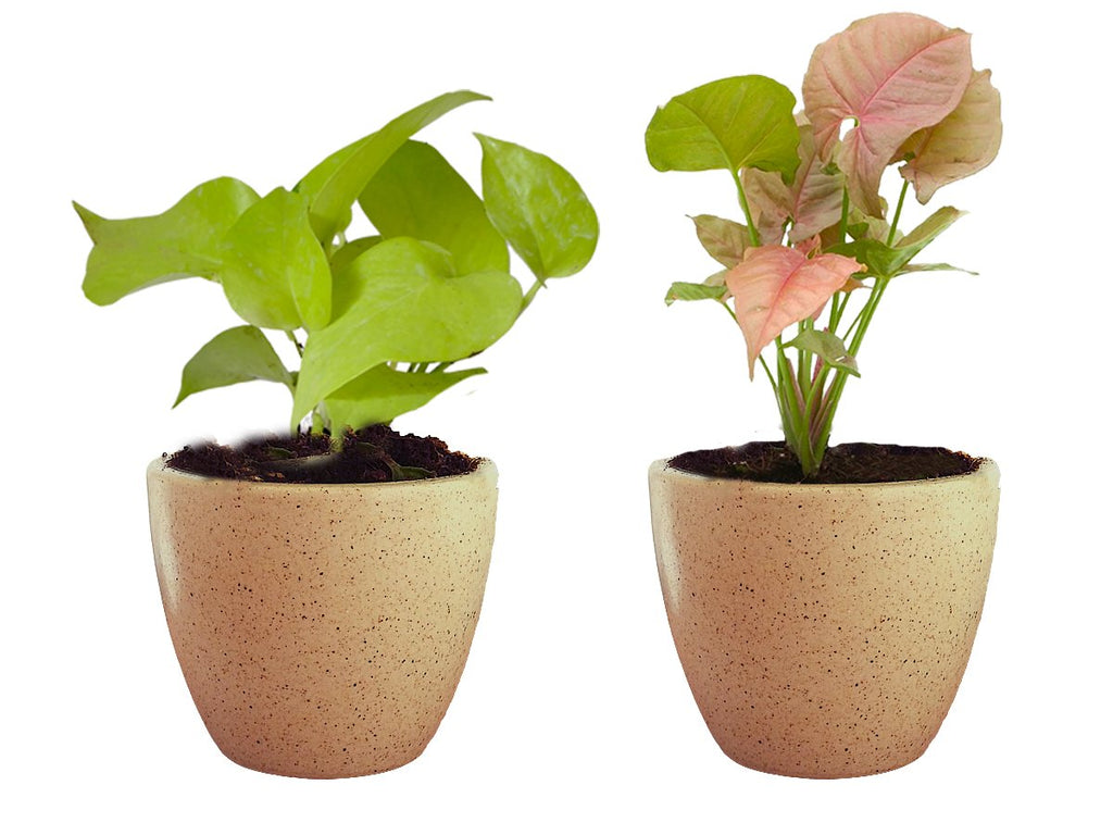 Combo Of Good Luck Air Purifying Live Golden Money Plant and Syngonium Pink Plant  in Brown Round Dew Ceramic Pot