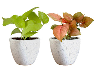 Combo Of Good Luck Air Purifying Live Golden Money Plant and Syngonium Pink Plant White Round Dew Ceramic Pot