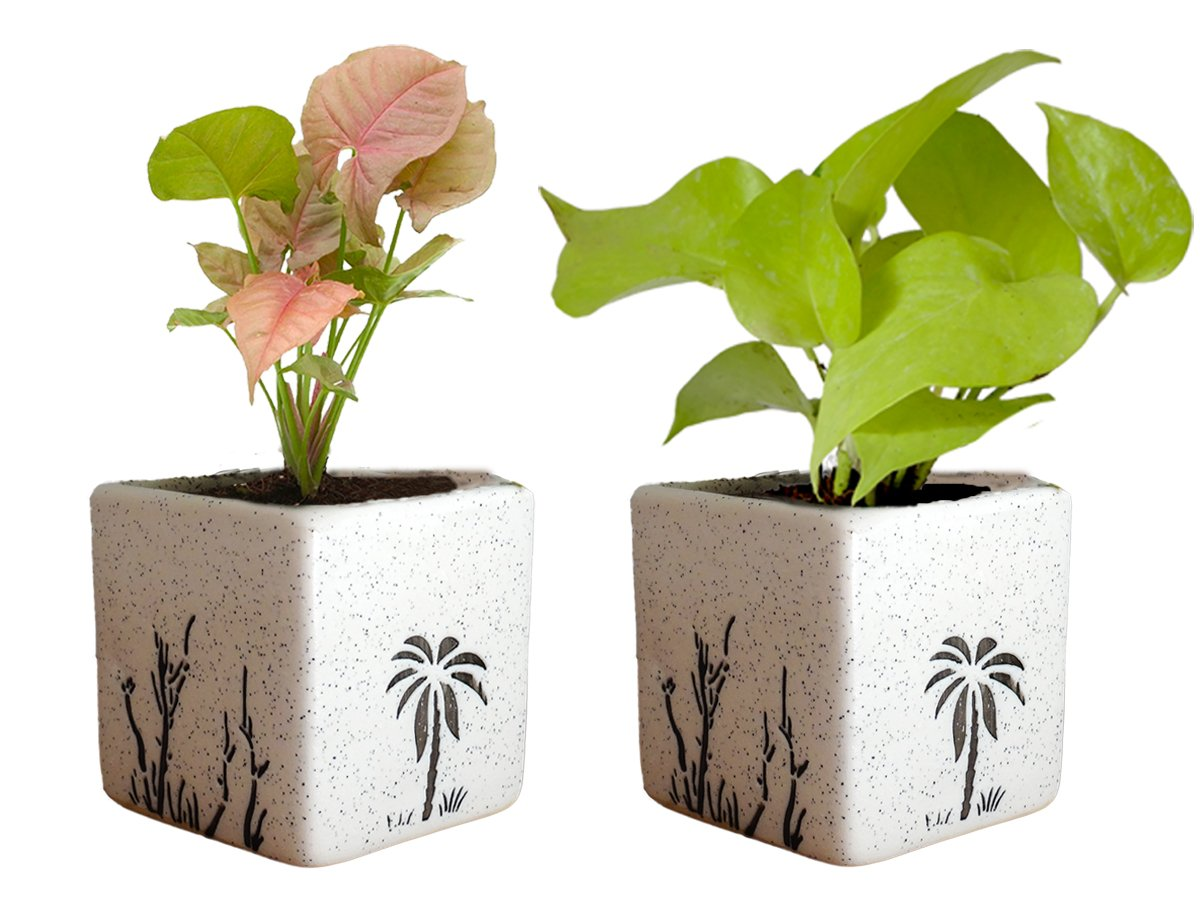 Combo Of Good Luck Air Purifying Live Golden Money Plant and Syngonium Pink Plant in White Square Aroez Ceramic Pot