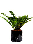 Air Purifying Green Fern Plant in Black Barrel Aroez Ceramic Pot
