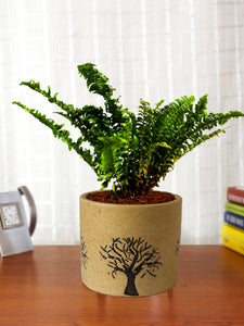 Air Purifying Live Green Fern Plant in Brown Barrel Aroez Ceramic Pot