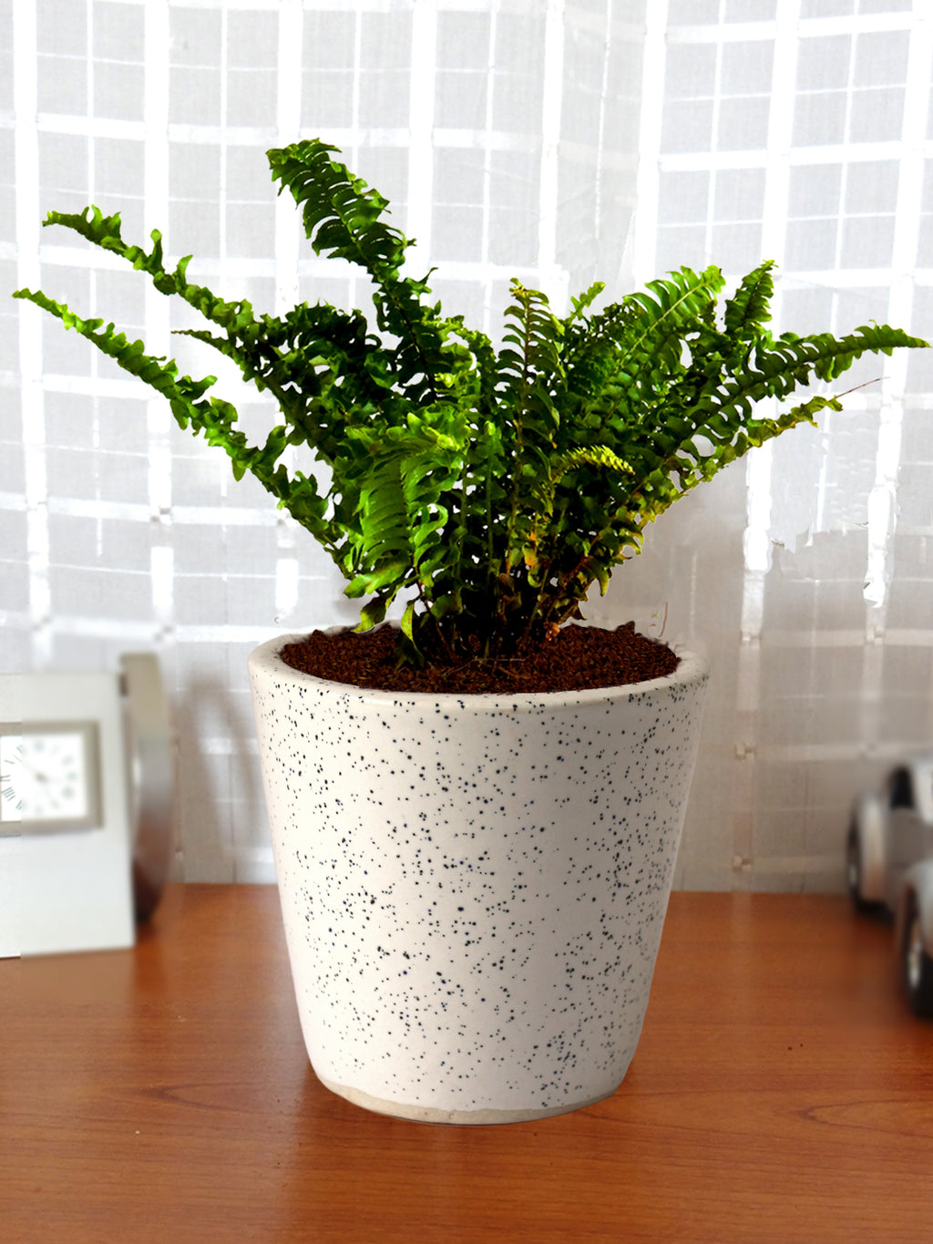 Air Purifying Live Green Fern Plant in White Bucket Dew Ceramic Pot