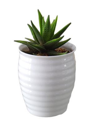 Haworthia Fasciata Succulent Plant in White Ceramic Pot