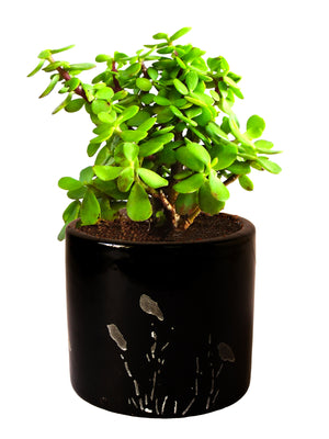 Good Luck Jade Plant in Black Barrel Aroez Ceramic Planter
