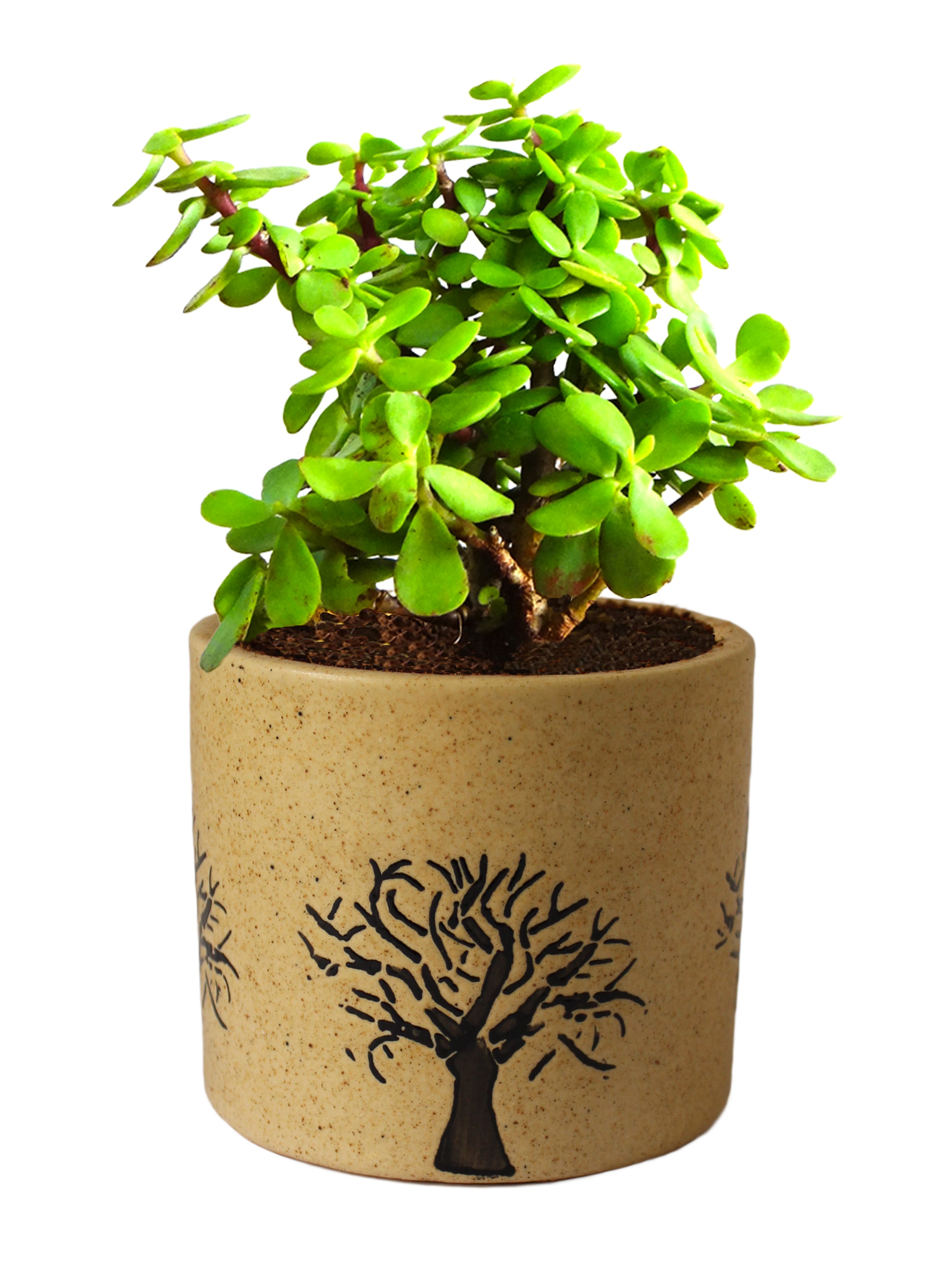 Rolling Nature Good Luck Jade Plant In Brown Barrel Aroez Ceramic Pot