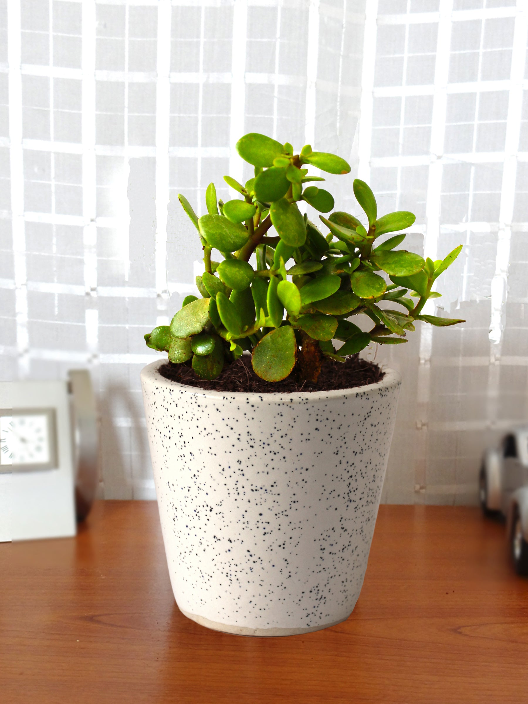 Good Luck Live Jade Plant in White Bucket Dew Ceramic Pot