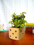 Good Luck Jade Plant in Brown Dice Ceramic Pot
