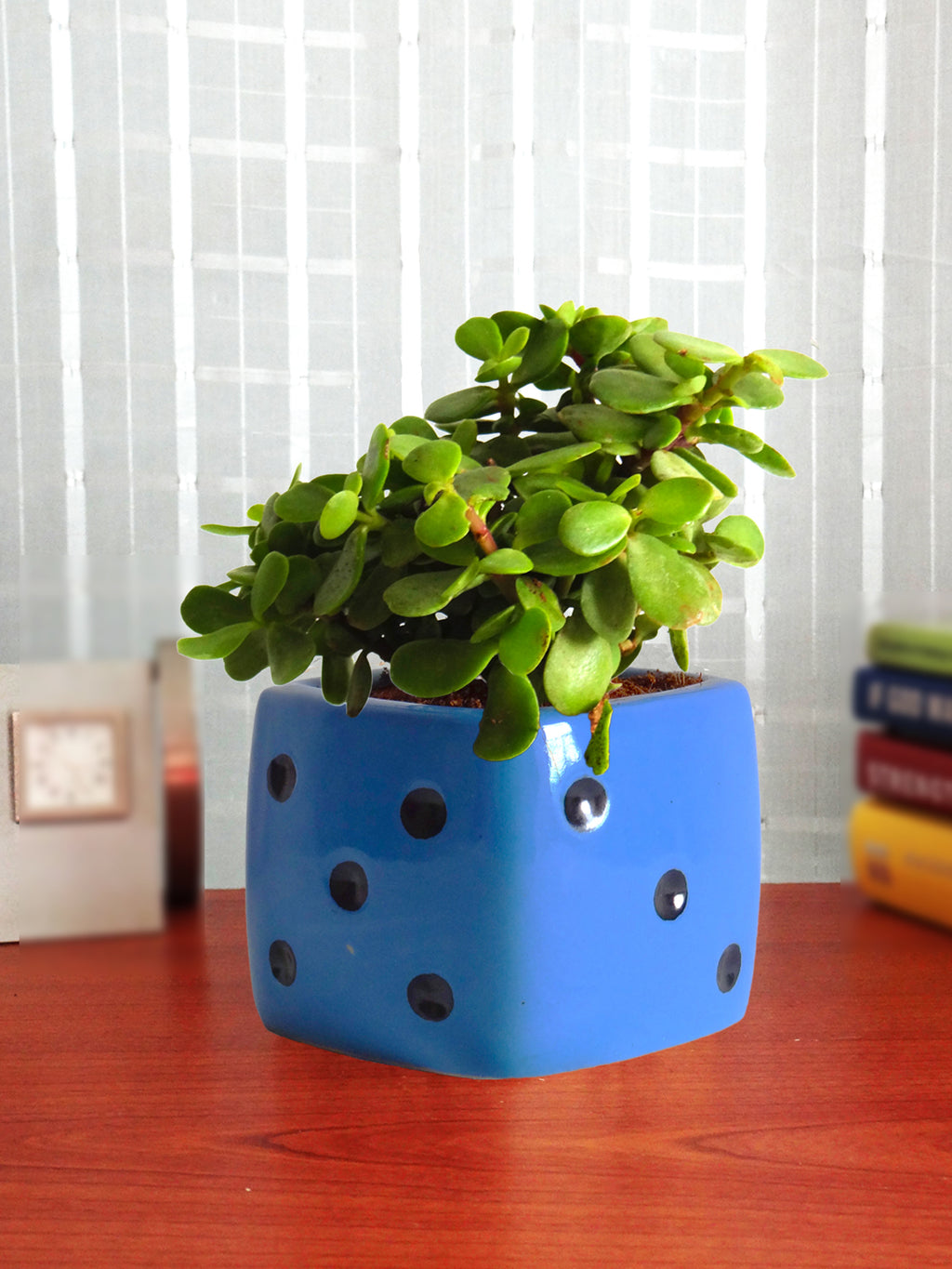 Good Luck  Jade Plant in Blue Dice Ceramic Pot