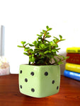 Good Luck Jade Plant in Green Dice Ceramic Pot