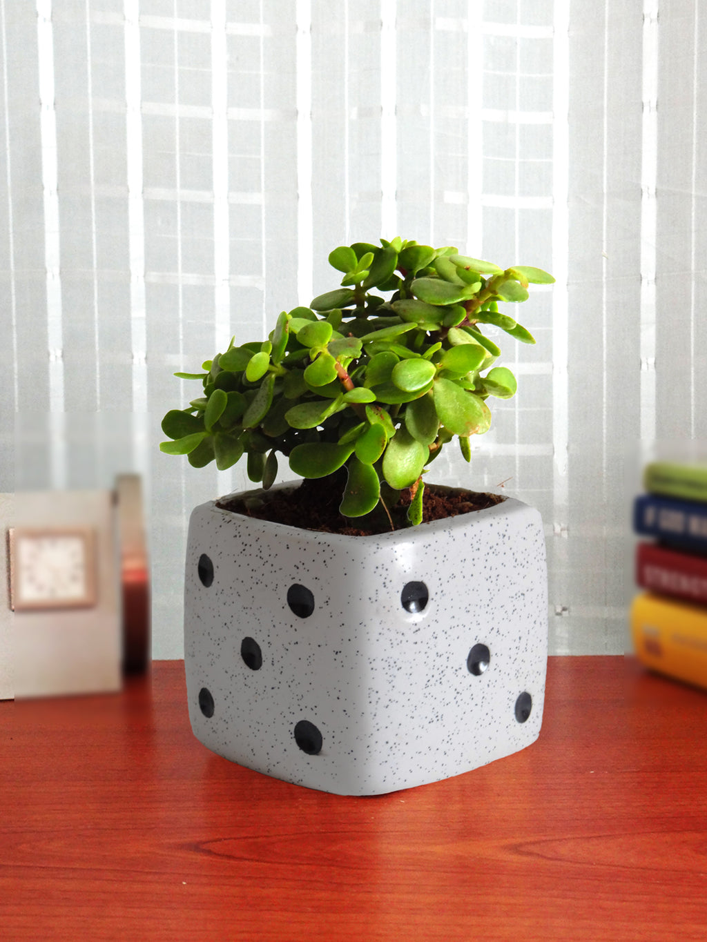 Good Luck  Jade Plant in White Dice Ceramic Pot