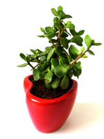 Good Luck Jade Plant in Red Heart Ceramic Pot