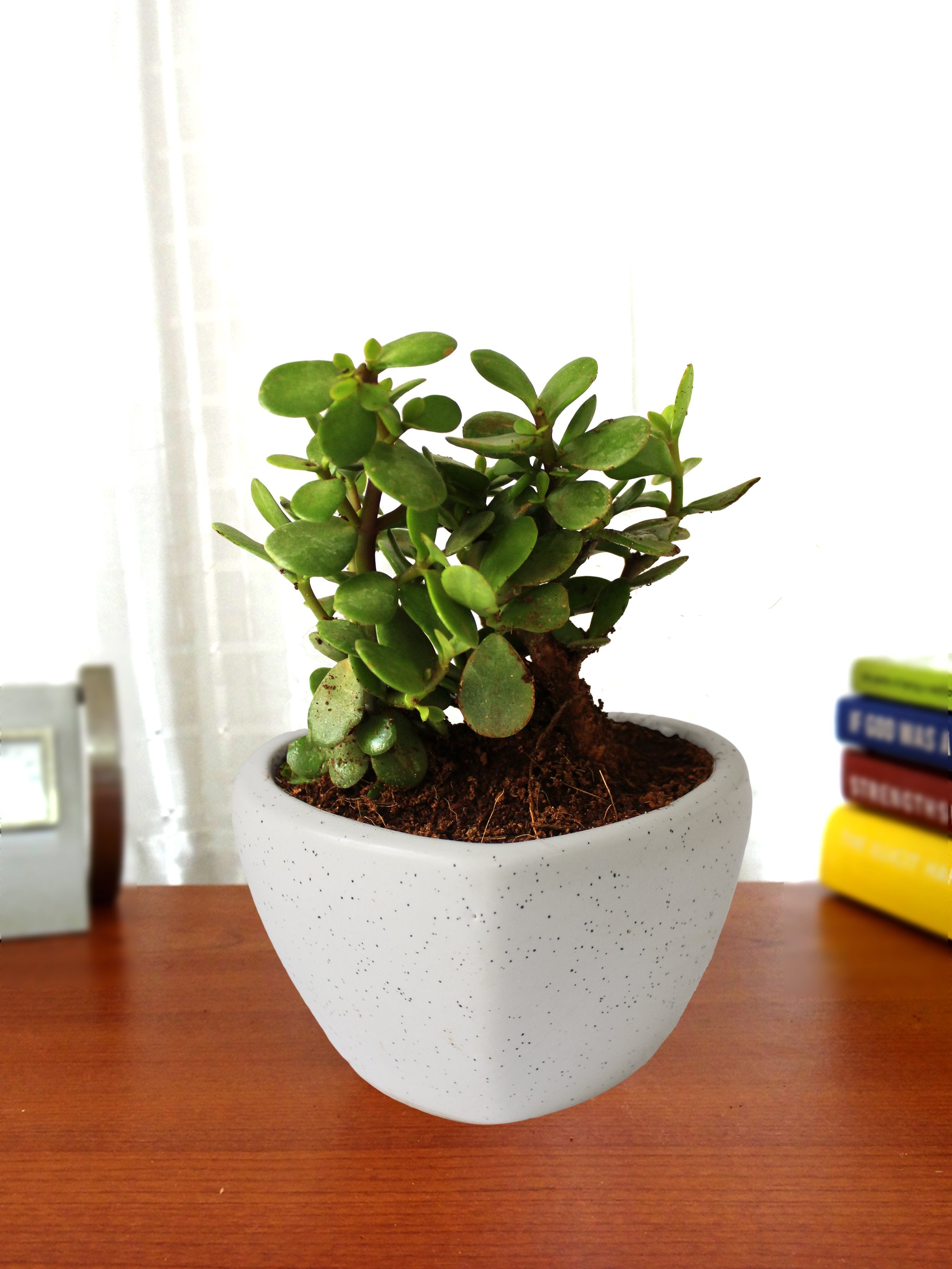 Good Luck Jade Plant in White Heart Ceramic Pot