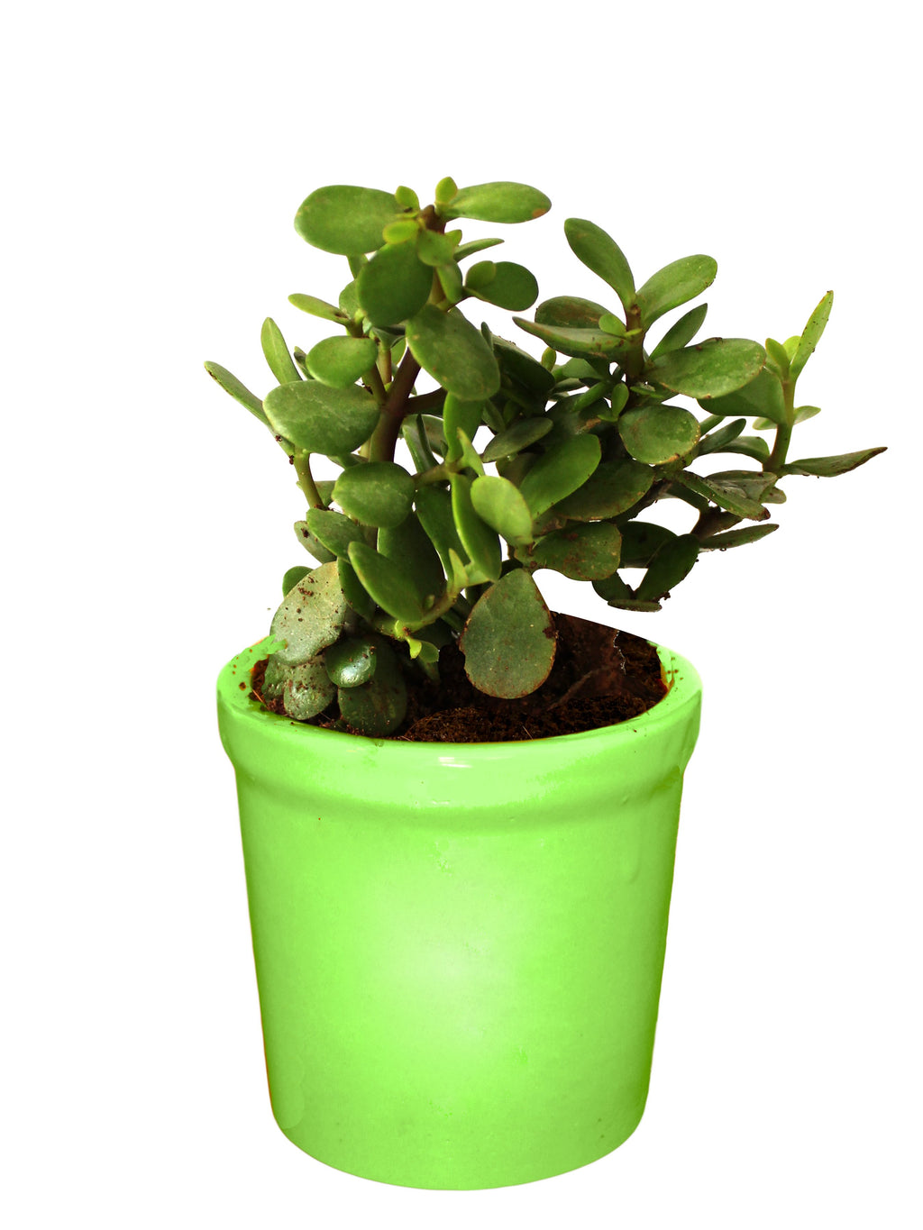 Rolling Nature Good Luck Live Jade Plant in Green Jar Ceramic Pot