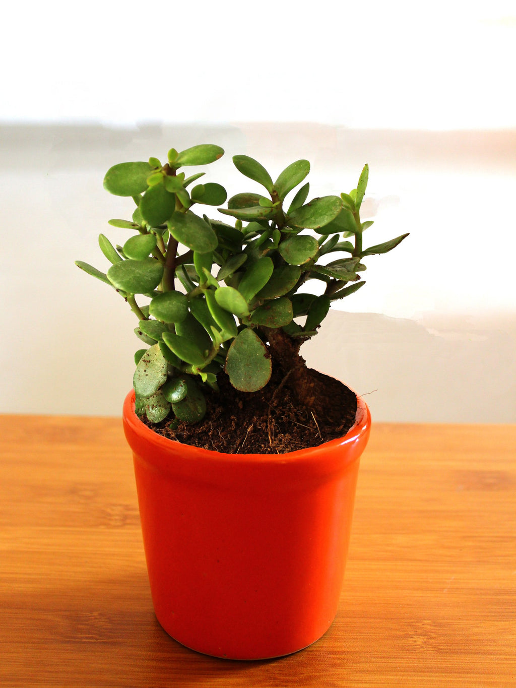 Good Luck Jade Plant in Orange Jar Ceramic Pot