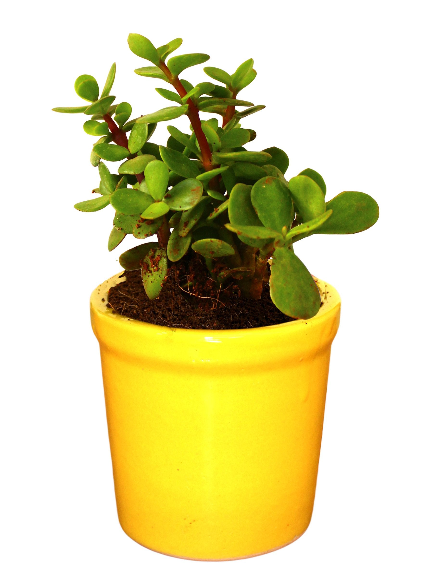 Good Luck Jade Plant in Yellow Jar Ceramic Pot