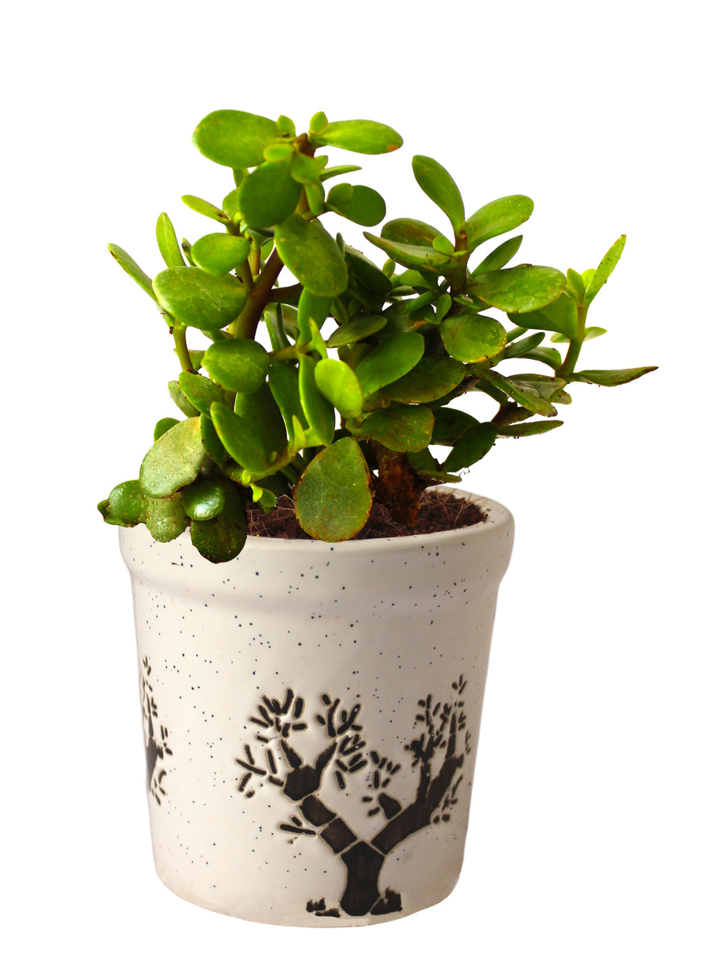Good Luck Live Jade Plant in White Jar Aroez Ceramic Pot