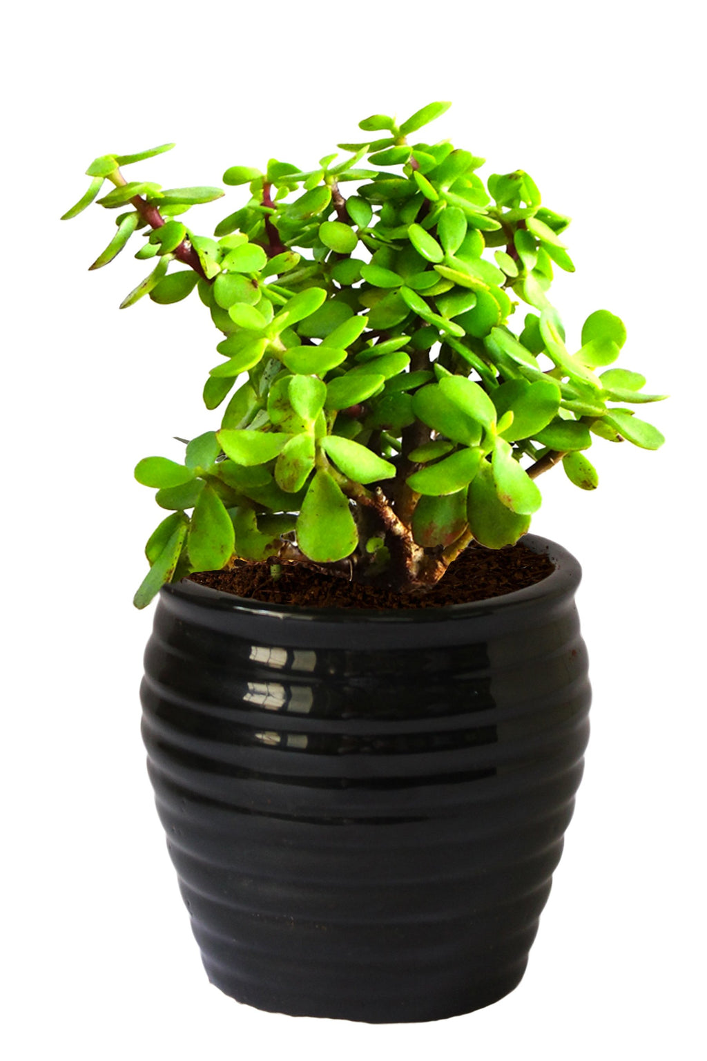 Rolling Nature Good Luck  Jade Plant in Black Ceramic Pot