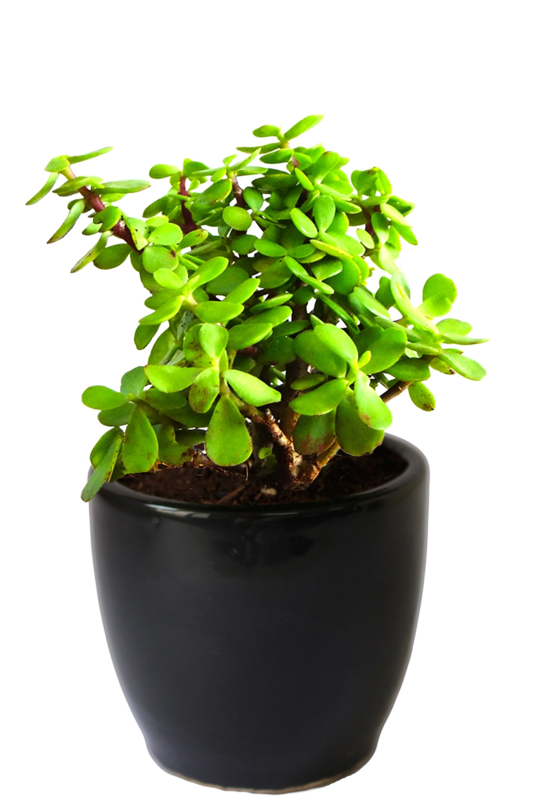 Rolling Nature Good Luck  Jade Plant in Black Pear Ceramic Pot